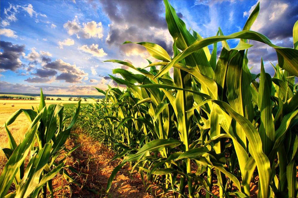 «Выращивание кукурузы и зерновых культур с использованием высокоэффективных технологий и препаратов фирмы «Байер»